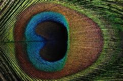 επενδύστε με φτερά peacock Στοκ εικόνα με δικαίωμα ελεύθερης χρήσης