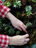 Επεξεργασία ενός succulent στεφανιού Στοκ φωτογραφία με δικαίωμα ελεύθερης χρήσης