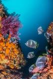 Επεξεργασμένος σίδηρος Butterflyfish Στοκ Εικόνες
