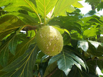 επεξεργασμένο βλασταημένο δέντρο έκθεσης αρτόκαρπων hdr πολύ στοκ εικόνες με δικαίωμα ελεύθερης χρήσης