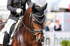 Επιβήτορας αλόγων στη εκπαίδευση αλόγου σε περιστροφές με το χαλινάρι και το κάλυμμα αυτιών Στοκ φωτογραφία με δικαίωμα ελεύθερης χρήσης