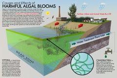 Επιβλαβής φυκώδης άνθιση Infographic Στοκ Εικόνες