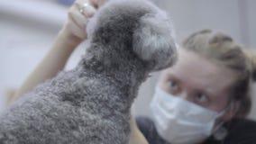 Επιδέξιο επαγγελματικό κατοικίδιο ζώο groomer που καθιστά χνουδωτό σε λίγο χαριτωμένο poodle κούρεμα με το ψαλίδι που αρχίζει με  φιλμ μικρού μήκους