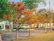 Επιδεικτικό ή προστατευόμενο δέντρο regia Poinciana Delonix με τα λουλούδια στο μικρό χωριό στοκ εικόνες