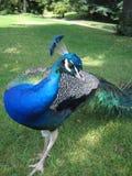 επιείκεια peacock Στοκ Εικόνα