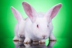 επιθετικά bunnies φαίνονται δύο Στοκ εικόνα με δικαίωμα ελεύθερης χρήσης