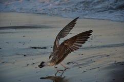 Επιθετικά seagulls Στοκ φωτογραφίες με δικαίωμα ελεύθερης χρήσης