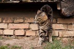 επιθετική γάτα Στοκ Φωτογραφία