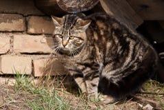 επιθετική γάτα Στοκ Εικόνες