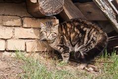 επιθετική γάτα Στοκ φωτογραφία με δικαίωμα ελεύθερης χρήσης