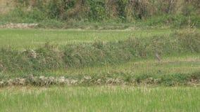 Επιθετική συμπεριφορά επίδειξης πουλιών γερανών απόθεμα βίντεο