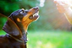 Επιθετικό μαύρο dachshund απογυμνωμένο τα δόντια του μπροστά από το χέρι γυναικών Στοκ Φωτογραφία