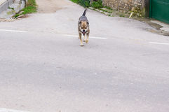 Επιθετικό σκυλί οδών που τρέχει προς το θύμα Στοκ Φωτογραφία