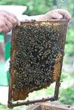 επιθεώρηση κυψελών μελι Στοκ Φωτογραφία