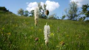 Επιθυμώ να περπατήσω μέσω των λιβαδιών και να συλλέξω τα άγρια λουλούδια Ανθίζοντας plantain Υπάρχει μια ανθίζοντας χήνα-χλόη στο στοκ φωτογραφία