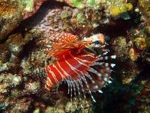 επικίνδυνος σκορπιός τροπικό Βιετνάμ ψαριών Στοκ εικόνες με δικαίωμα ελεύθερης χρήσης