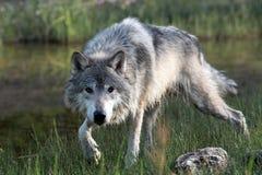 επικίνδυνο αρπακτικό ζώο Στοκ Φωτογραφίες
