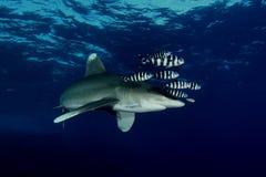 Επικίνδυνη μεγάλη υποβρύχια εικόνα καρχαριών Στοκ φωτογραφία με δικαίωμα ελεύθερης χρήσης