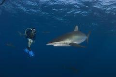 Επικίνδυνη μεγάλη υποβρύχια εικόνα καρχαριών Στοκ Εικόνες