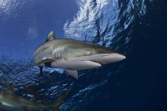 Επικίνδυνη μεγάλη υποβρύχια εικόνα καρχαριών Στοκ Φωτογραφίες