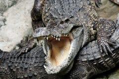 Επικίνδυνος κροκόδειλος στοκ φωτογραφία με δικαίωμα ελεύθερης χρήσης