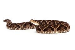 Επικίνδυνο φίδι οχιών κοιλωμάτων Terciopelo Στοκ Εικόνα