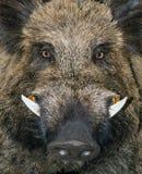 Επικεφαλής άγριος κάπρος ζωικό Sus Scrofa Στοκ φωτογραφία με δικαίωμα ελεύθερης χρήσης