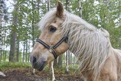 Επικεφαλής άλογο σε ένα δασικό τοπίο της Φινλανδίας Ζωική ανασκόπηση Στοκ Εικόνα