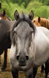 επικεφαλής άλογο Στοκ εικόνα με δικαίωμα ελεύθερης χρήσης