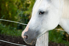 επικεφαλής άλογο Στοκ Φωτογραφία