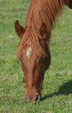 επικεφαλής άλογο Στοκ Εικόνες