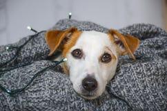 Επικεφαλής άσπρο σκυλί που τυλίγεται σε ένα κάλυμμα Στοκ Εικόνες