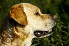 Επικεφαλής αντιμετώπιση σκυλιών του Λαμπραντόρ λοξά στοκ εικόνα