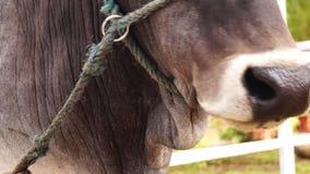 Επικεφαλής δεμένος σχοινί τροφικός βόλος μασήματος αγελάδων επικεφαλής πλάνο φιλμ μικρού μήκους