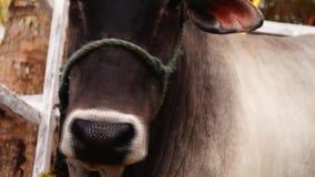 Επικεφαλής δεμένος σχοινί τροφικός βόλος μασήματος αγελάδων επικεφαλής πλάνο απόθεμα βίντεο