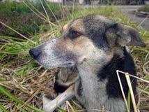 Επικεφαλής ενός περιπλανώμενου σκυλιού Στοκ Φωτογραφίες
