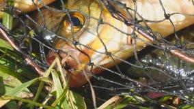 Επικεφαλής ενός ψαριού με τα κόκκινα πτερύγια στενό στον επάνω κλουβιών φιλμ μικρού μήκους