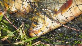 Επικεφαλής ενός ψαριού με τα κόκκινα πτερύγια στο κλουβί απόθεμα βίντεο