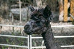 Επικεφαλής ζωολογικός κήπος λάμα έξω από να φανεί ο χαριτωμένος Μαύρος στοκ εικόνα