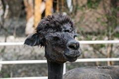 Επικεφαλής ζωολογικός κήπος λάμα έξω από να φανεί ο χαριτωμένος Μαύρος στοκ φωτογραφία
