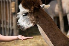 Επικεφαλής ζωολογικός κήπος λάμα έξω από να φανεί χαριτωμένο χέρι παιδιών σίτισης στοκ εικόνες