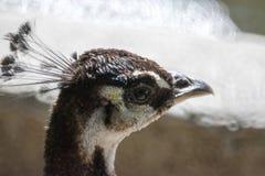 Επικεφαλής θηλυκό Peacock στοκ φωτογραφία με δικαίωμα ελεύθερης χρήσης