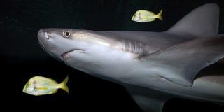 Επικεφαλής και τροπικά ψάρια καρχαριών ` s φραγμάτων άμμου σε εκβολή ποταμού Στοκ φωτογραφία με δικαίωμα ελεύθερης χρήσης