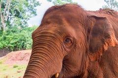 Επικεφαλής καφετιού ινδικού στενού ενός επάνω ελεφάντων Στοκ Φωτογραφία