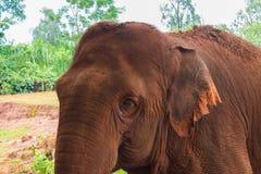 Επικεφαλής καφετιού ινδικού στενού ενός επάνω ελεφάντων Στοκ Εικόνες