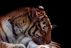 Επικεφαλής κινηματογράφηση σε πρώτο πλάνο τιγρών Amur στο μαύρο υπόβαθρο Στοκ Εικόνες