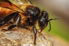 Επικεφαλής μακροεντολή μελισσών μελιού με τις λεπτομέρειες στοκ εικόνα