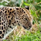 Επικεφαλής πλάνο πορτρέτου ενήλικο Leopard Amur Στοκ φωτογραφίες με δικαίωμα ελεύθερης χρήσης
