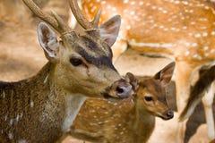 Επικεφαλής πλάνο των επισημασμένων deers Στοκ εικόνα με δικαίωμα ελεύθερης χρήσης
