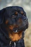 Επικεφαλής πορτρέτο ενός ήρεμου σκυλιού Rottweiler στοκ εικόνες